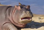 foto of hippopotamus  - A young Hippo on a sandbank Kruger Park South Africa  - JPG