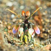 Macro shot of a mantis shrimp underwater
