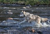 foto of ecosystem  - A timber wolf running through the river after his prey - JPG
