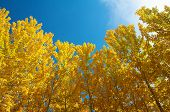 picture of jammu kashmir  - View of Fall Aspen Trees  - JPG