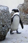 Wilde afrikanische Pinguin