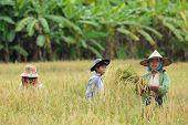 Burmese farmers harvesting rice in Thailand