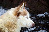 Siberian Husky With Blue Eyes Close Up