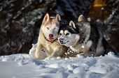 Siberian Husky Running In The Snow On A Winter Day