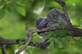 image of screech-owl  - Screech Owlets sitting on a branch with one looking directly at the camera with wide eyes - JPG