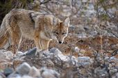 cautious coyote