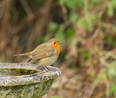 Robin On Bird Bath