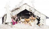 Chihuahuas sitting and dressed in front of Christmas nativity scene with Christmas tree and snow aga