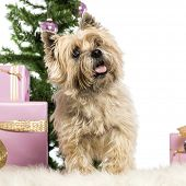 Cairn Terrier standing in front of Christmas decorations against white background