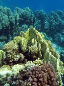 coral reef with yellow fire coral at the bottom of red sea