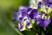 violet flowers of hortensia in the garden on green background - macro