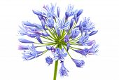 Bright Blue Agapanthus Flower. Macro Photo Isolated On White