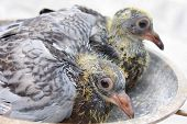 Pigeon nestlings bird sitting together .