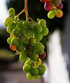 Closeup Grapes