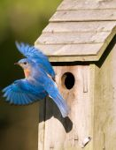 Bluebird Leaving The Birdhouse