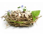 stock photo of bird-nest  - quail eggs in a nest isolated on white background - JPG
