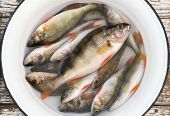 Fresh Perch In A White Basin On Wooden Stool