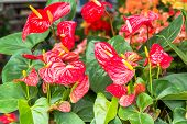 Anthurium Flamingo flowers in Plantations