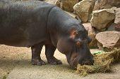 Hippo Grazes In The Zoo