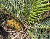 Australian Cycad Macrozamia Miquelii With Fruit In Bush Environment