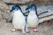 Two Fairy Penguins
