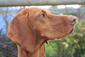 picture of vizsla  - face portrait of a beautiful vizsla - JPG