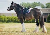 shire horse under saddle