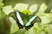Green butterfly in natural nature setting