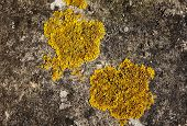 image of lichenes  - Closeup of two patches of yellow crustose lichen growing on concrete - JPG