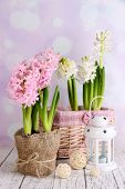 Hyacinth in pot on table on bright background