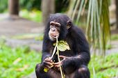 stock photo of chimp  - A chimpanzee  - JPG