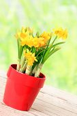 Spring daffodils in a red planter pot.