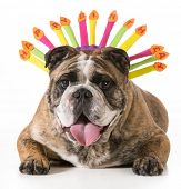 english bulldog wearing happy birthday hat - 2 year old brindle male