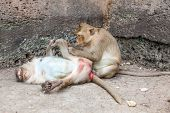 image of macaque  - The macaque is a genus of the family of the Old World monkeys - JPG