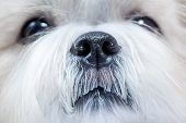 Shih tzu dog close-up portrait.