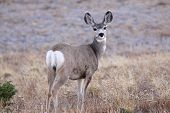 White tailed deer in the meadow