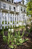 White tulips in a flower bed in front of a rustic picket fence.