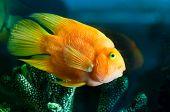 an yellow aquarium fish portrait near corals.