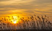 Sunrise over reed in a field in winter