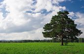 Landscape  tree on the field under blue sky and white clouds