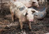 Pig on a pig- farm