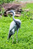 pic of virgo  - Bird Demoiselle Crane  - JPG
