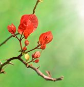 Close up of red bougainvillea buds