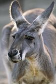 Red Kangaroo Closeup