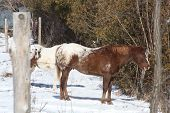 Horse-Brown & White