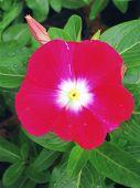 Hot Pink Vinca Flower
