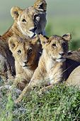 picture of lioness  - lioness walking her five cubs through Kenya - JPG