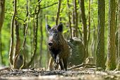 stock photo of omnivore  - Wild boar in their natural habitat in the spring - JPG