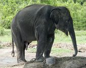 Juvenile Asian Elephant