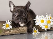French bulldog and chamomile